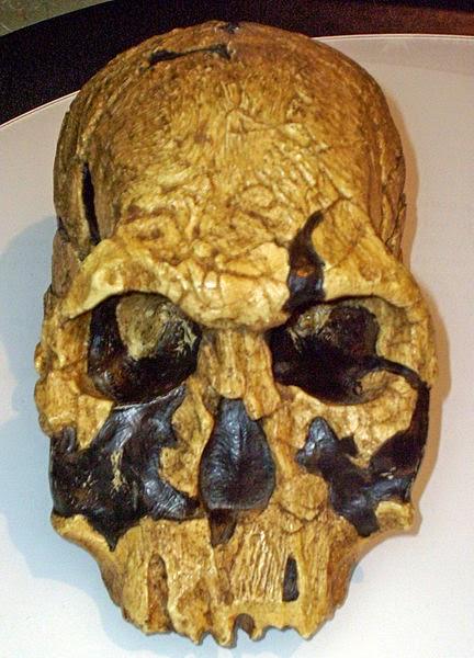 Gambar Manusia Purba - Homo Rudolfensis