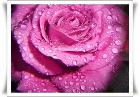 Rosesommer leser