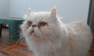 kucing parsi flatface