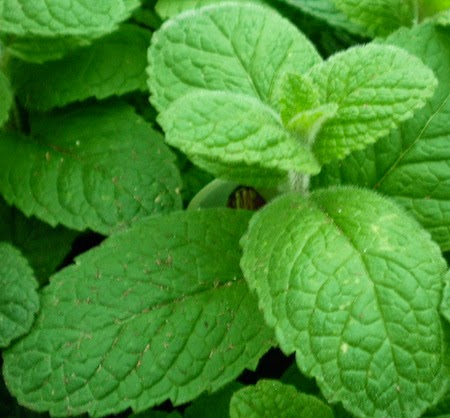Benefits And Nutrition Of Apple Mint Herb (Mentha Suaveolens) For Health