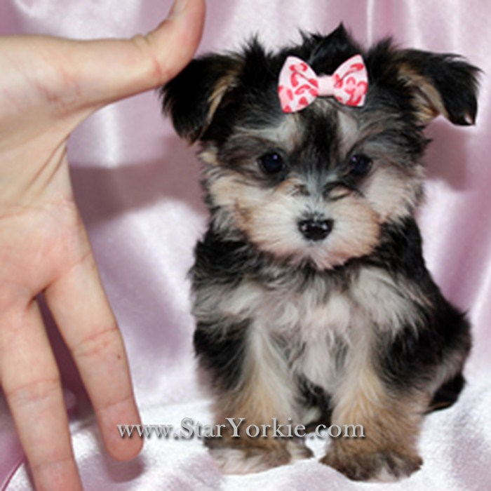 Cute Puppy Dogs: brown maltese puppy