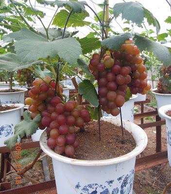 Comprar arboles frutales en macetas casa dise o for Arboles frutales pequenos para macetas