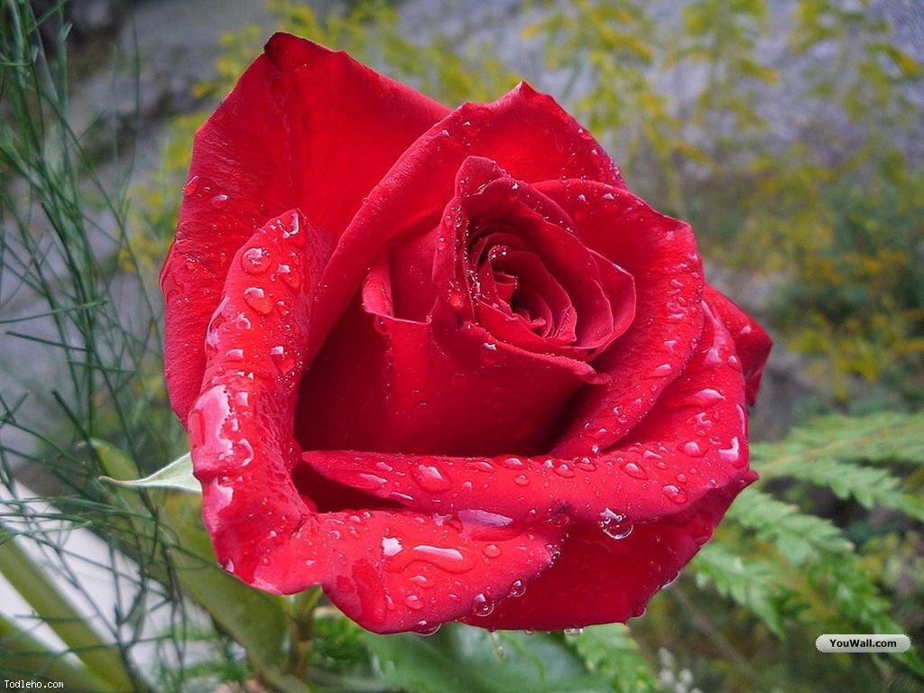 red rose desktop background - photo #37