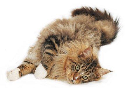 Animal Photo Maine Coon Cat