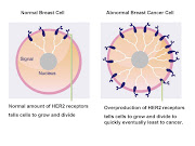 Model of how a normal breast cell should look and how a breast cancer cell .