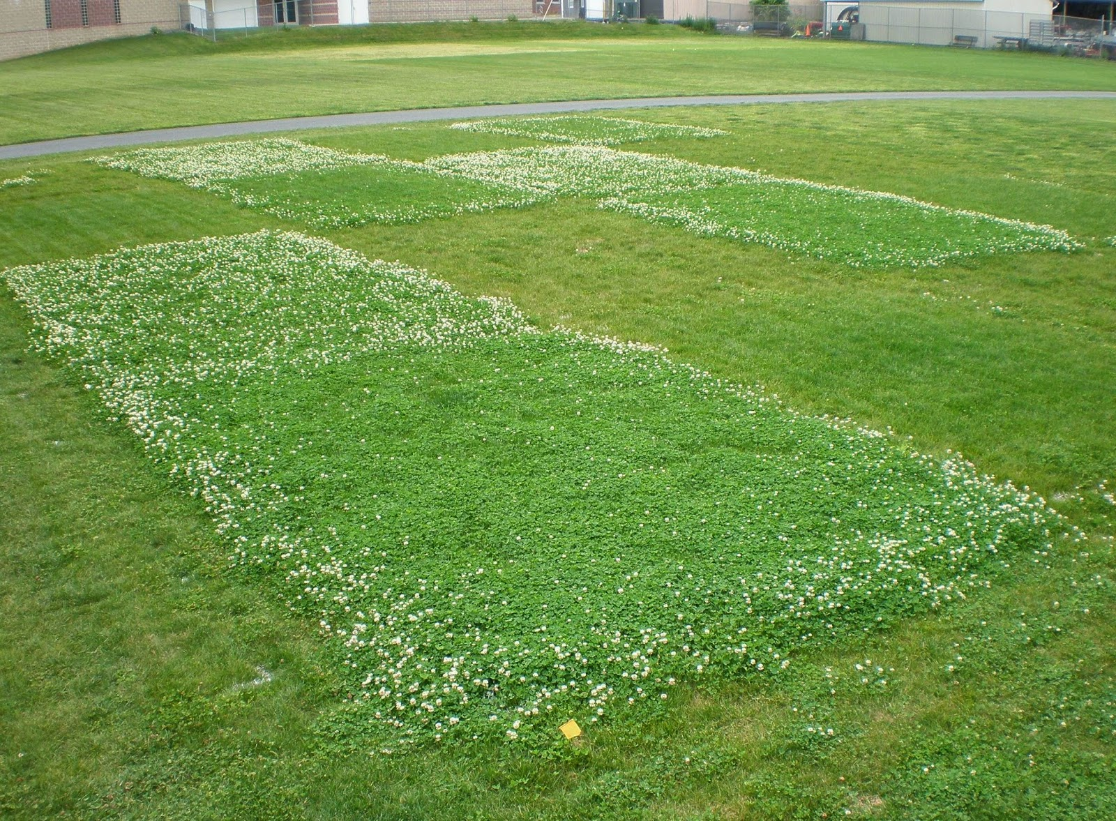 Клеверный газон: выбор сорта, когда сеять 99