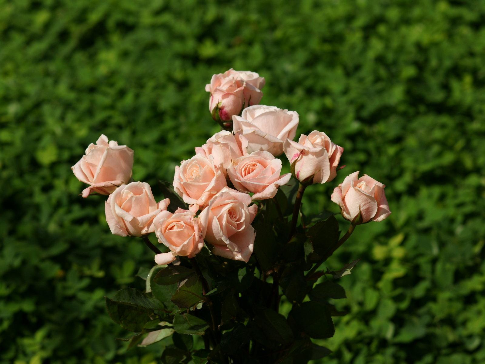 http://1.bp.blogspot.com/-VyzM7xdAulk/ToTSLqZnumI/AAAAAAAAAAw/DI92LIz3gKM/s1600/pink-roses-wallpaper-4.jpg