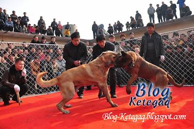 anjing bertarung