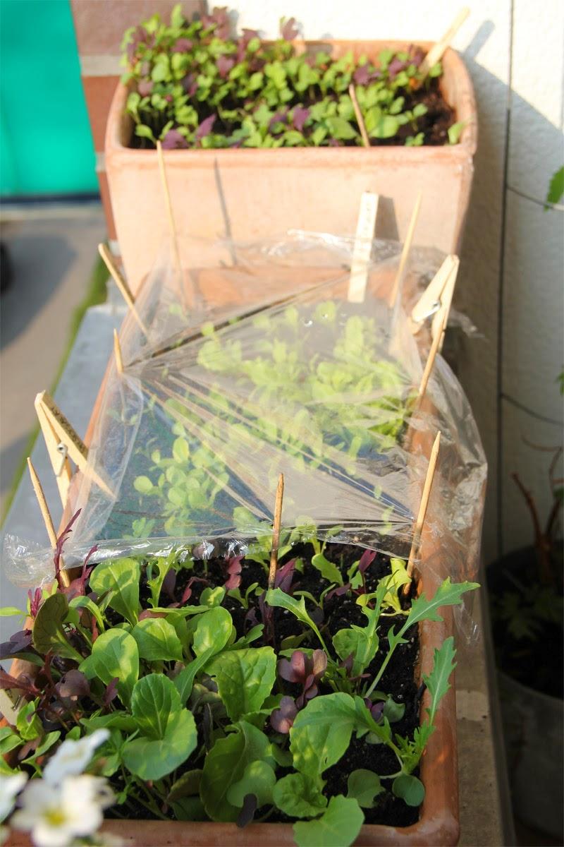 mein balkon selbstversorgung mit salat auf dem balkon ende m rz. Black Bedroom Furniture Sets. Home Design Ideas