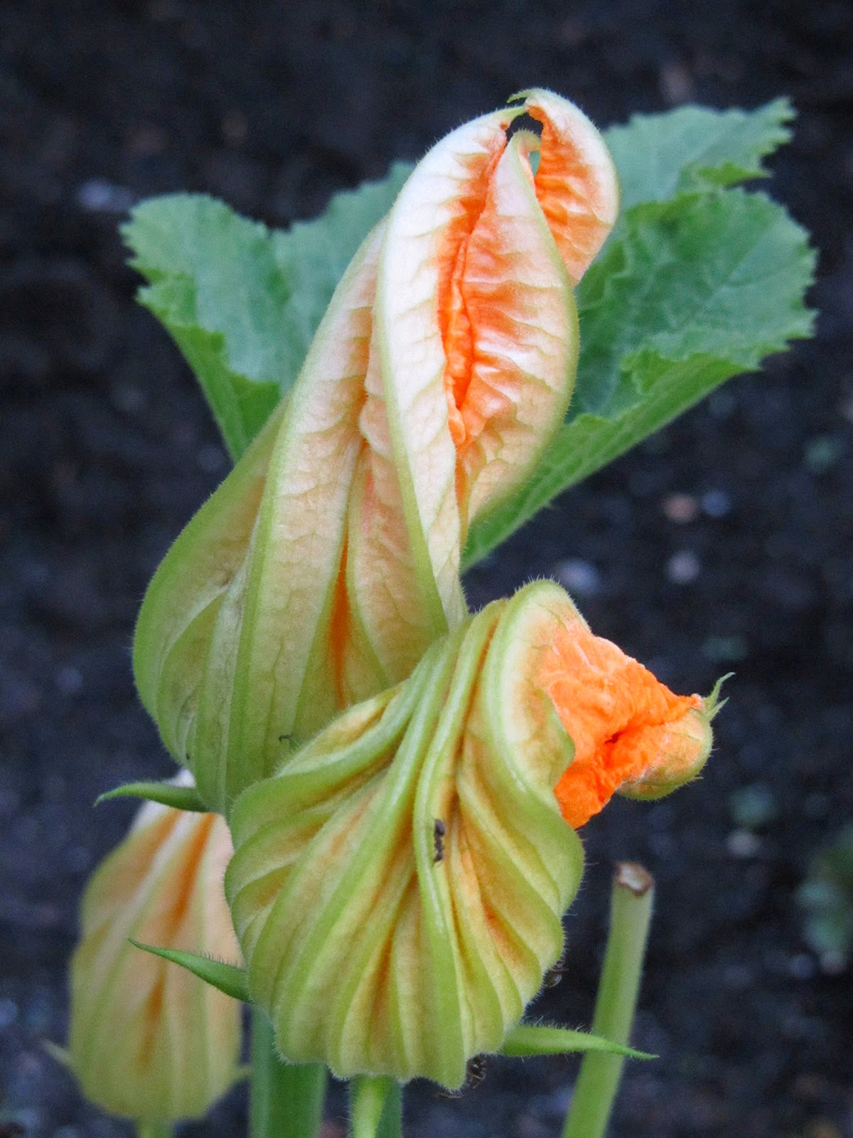 apricot coloured zucchini flower