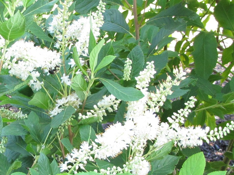 Clethra Alnifolia Pruning Clethra Alnifolia is a