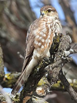 merlin falcon female