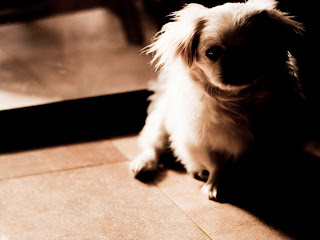 Pekingese Wallpaper