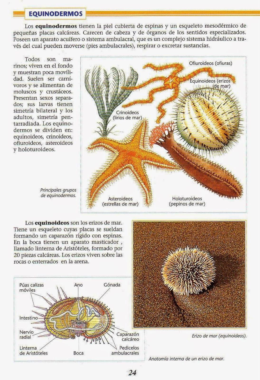 Contemporáneo Pepino De Mar Anatomía Interna Colección de Imágenes ...