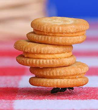 Insect carrying pile of biscuits Wallpaper