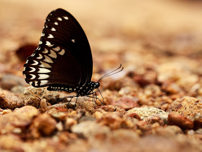 Mud Puddling Butterfly