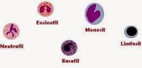 Pengertian, Fungsi, Jenis, dan Ciri-Ciri Sel Darah Putih (Leukosit)