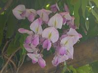 西鳥居の藤棚の藤の花。