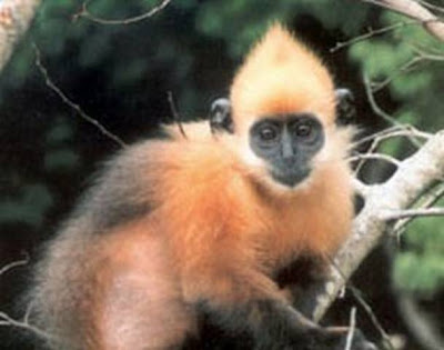 Most Amazing Almost Extinct Animals Golden-Headed Langur