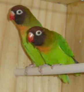 Lovebird kacamata pipi hitam