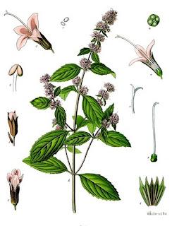 (Mentha piperita L. x, Carum Carvi L., Petroselinum crispum (Mill.)