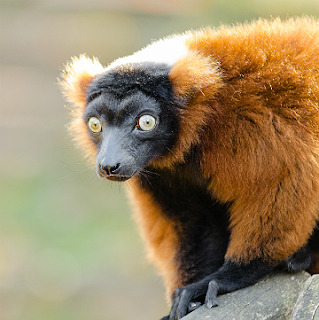 Public Domain image of a red-ruffed lemur by Mathias Appel