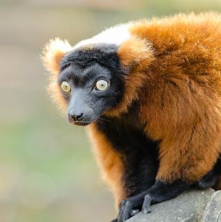 Public Domain image of a red-ruffed lemur by Mathias Appel
