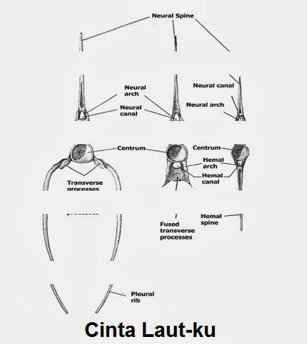 Sistem rangka atau tulang ikan cinta laut pada batang ekor tiap tiap ruasnya di bagian bawah hanya terdapat satu cucuk haemal di bagian atas ruas tulang punggung terdapat cucuk neural ccuart Images