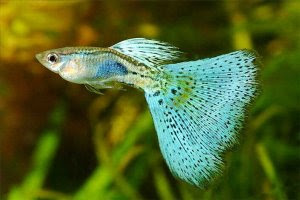 Blue grass male guppy