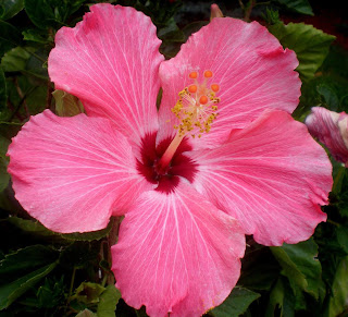 Hibiscus Flower Gallery