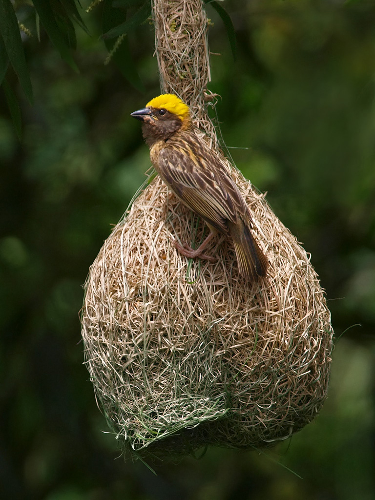 Indian weaver bird