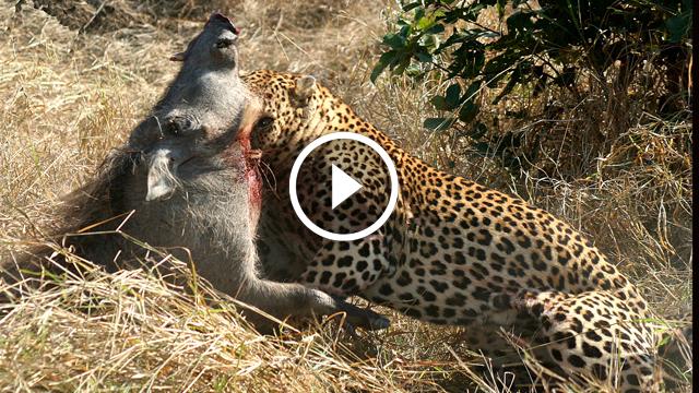Yaban Domuzunu Bulunduğu Oyuktan Çıkartıp Öldüren Leopar