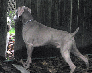 RoseWin Weimaraners: BOY dog finally meets GIRL dog next door.