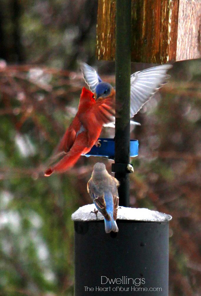 cardinal and bluebirds