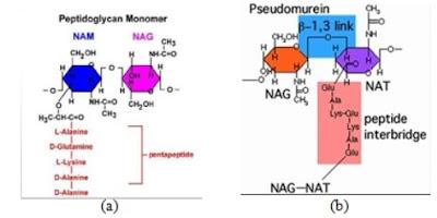 a. Peptidoglikan pada dinding sel bakteri; b. Pseudomurein pada dinding sel arkea