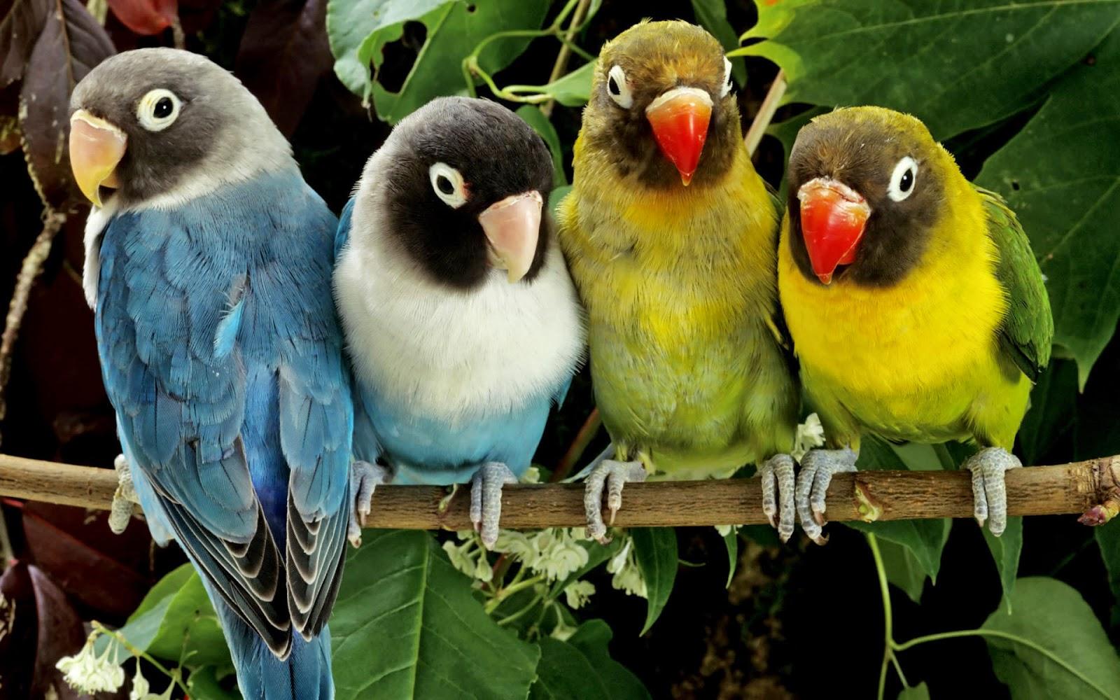 cara ternak burung love bird ternak binatang