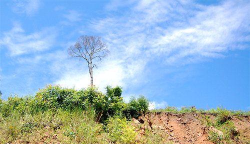 Kết quả hình ảnh cho Một thân cây bé nhỏ trơ trọi giữa đất trời là cảnh thường gặp ở Tây Nguyên
