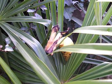 La banane se rebiffe  2