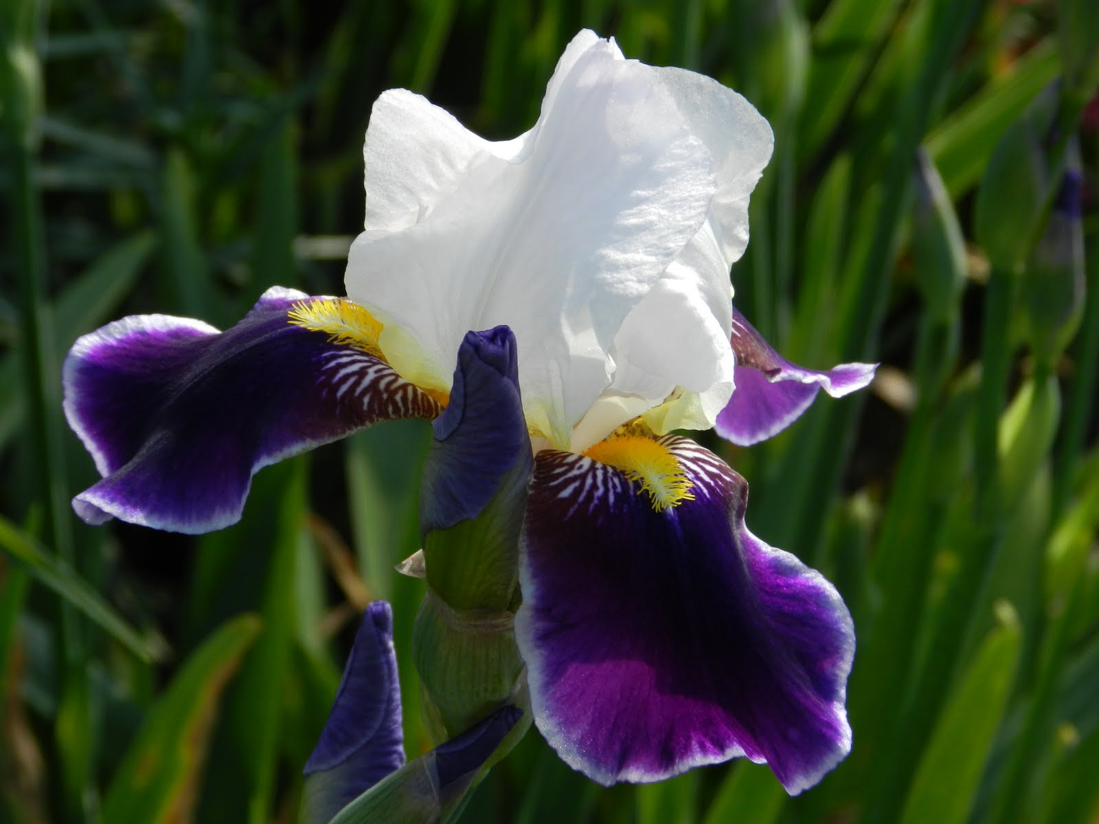 For the love of gardening iris mania wabash germanica was registered by m williamson in 1936 and is considered an antique it was purchased from select seeds and white flower farm mightylinksfo