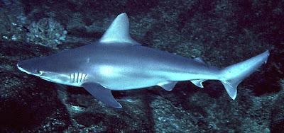 tiburon aleton Carcharhinus plumbeus