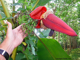 Wild bananas of Thailand