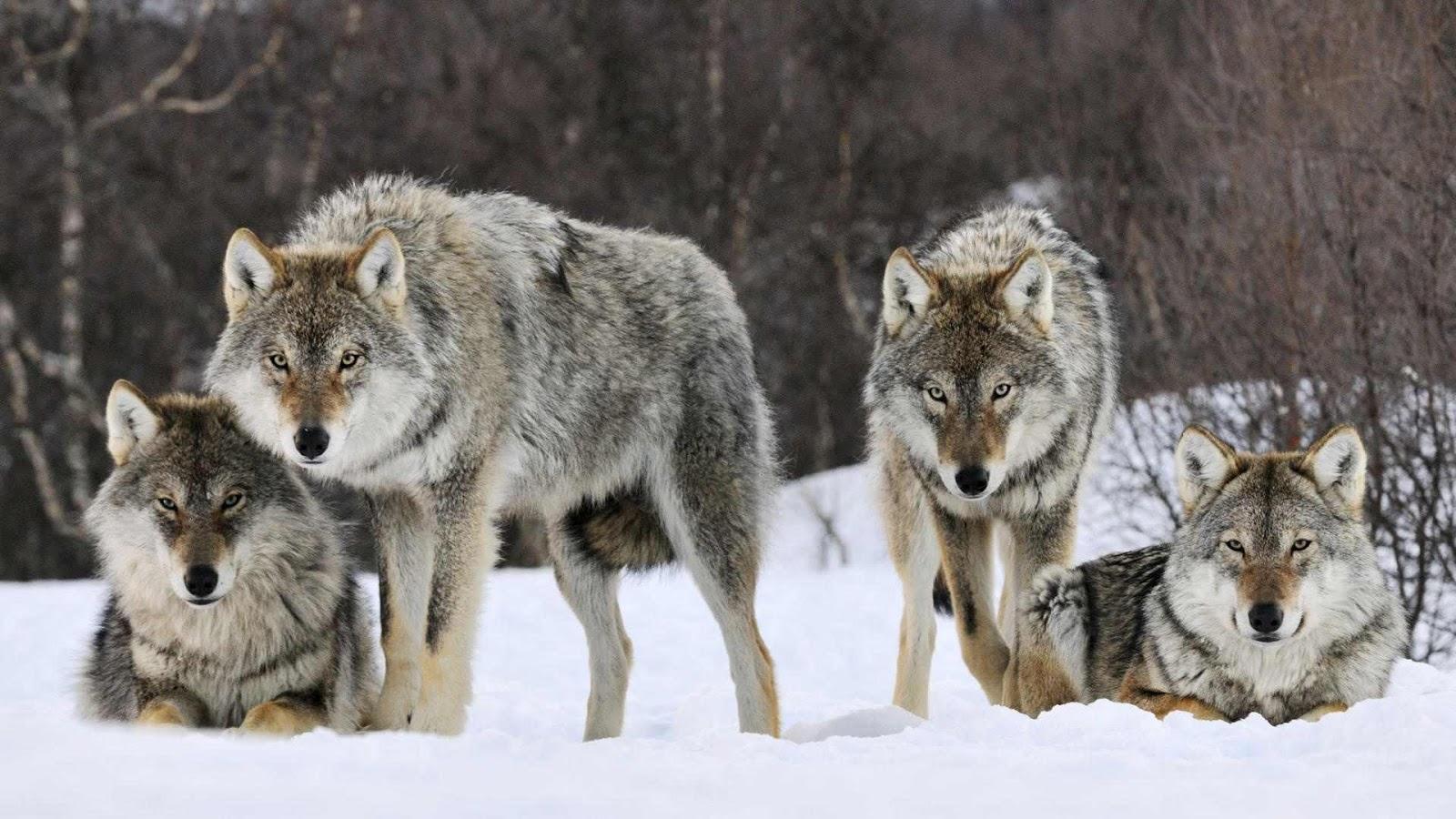 yi wei lim, yiweilim, yiwei lim, bourne, wolf, wolfpack, wolf pack, wolves