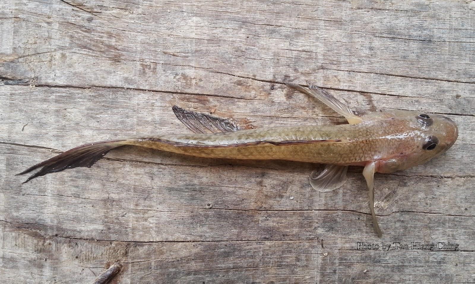 Freshwater aquarium fish gobiidae - English Name Tank Goby Mandarin Name Sh Xi H Y Xi H Y Local Malay Name Belukor Belungko Belodok Ubi