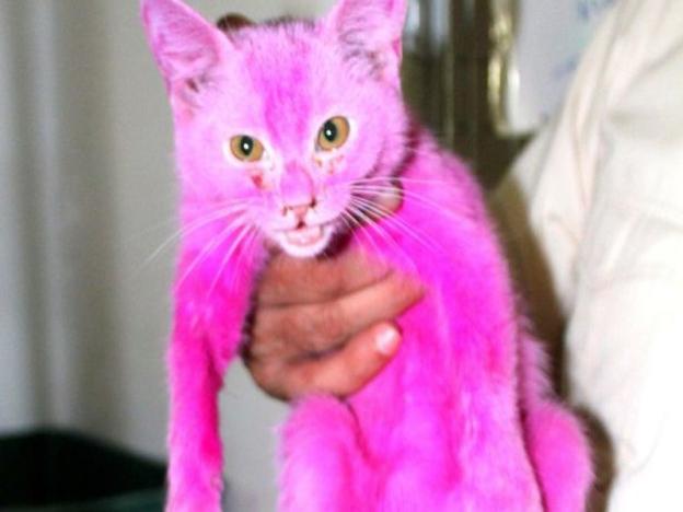 kucing dicat warna pink dan dijemur di bawah panas