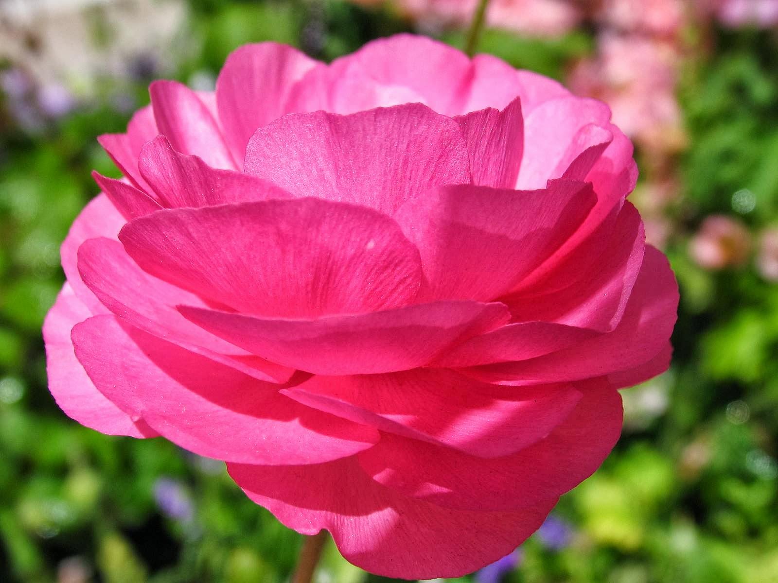 Buttercup Flower Beautiful Flowers