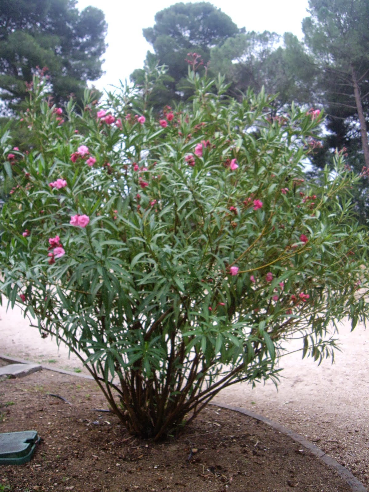 La mar de verde nerium oleander o adelfa - Poda del laurel ...