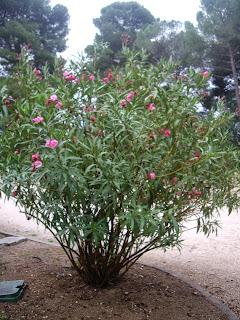 La mar de verde nerium oleander o adelfa for Laurel de jardin