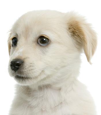how to train a labrador puppy
