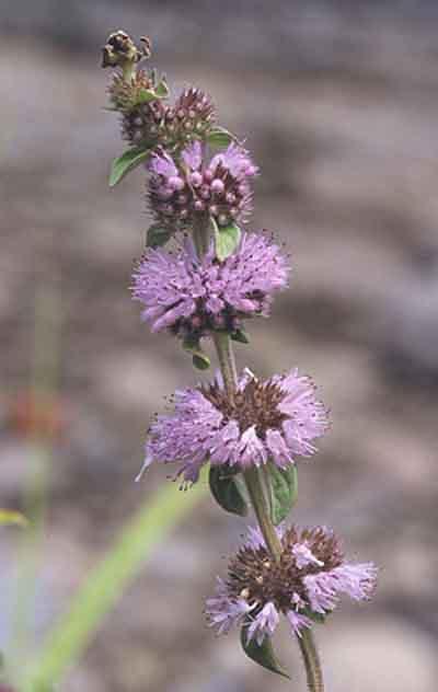 Plante utile pentru diverse intrebuintari for Plante utile