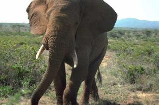 Fakta Unik Dari Hewan Gajah
